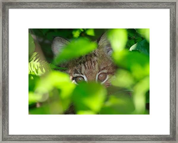 Bobcat Framed Print by Brian Magnier