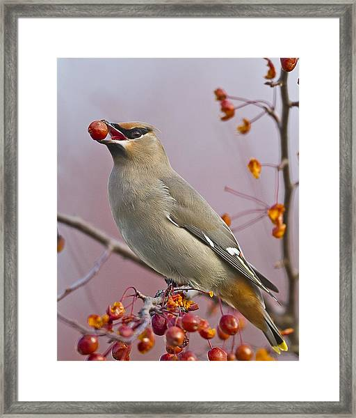 Bohemian Waxwing With Fruit Framed Print