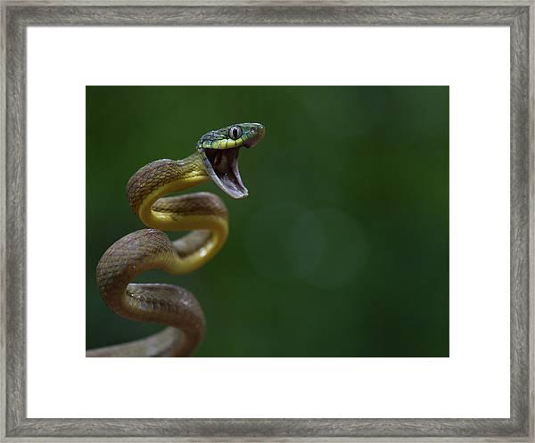 Boiga Cyanea Framed Print