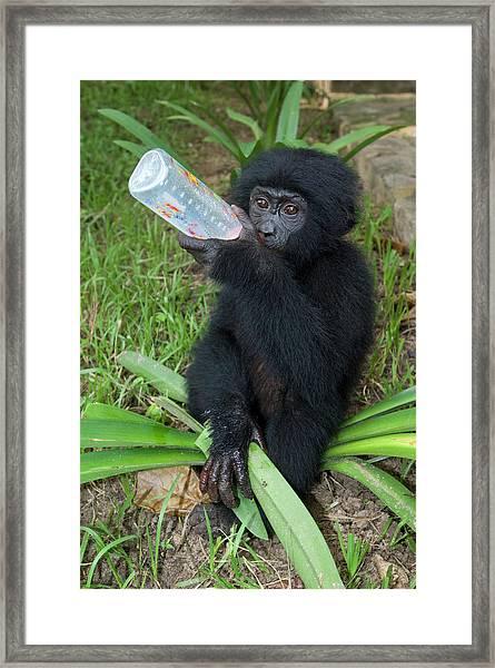 Bonobo Ape Conservation Framed Print