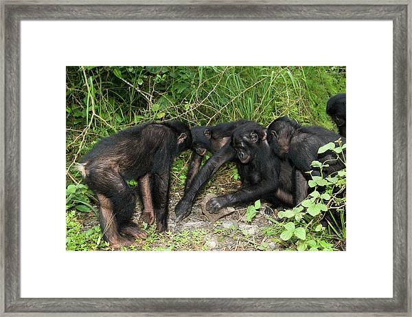 Bonobo Apes Opening A Nut Framed Print
