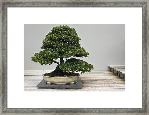 Bonsai Tree Grows In A Pot Framed Print by Rafael Ben-Ari