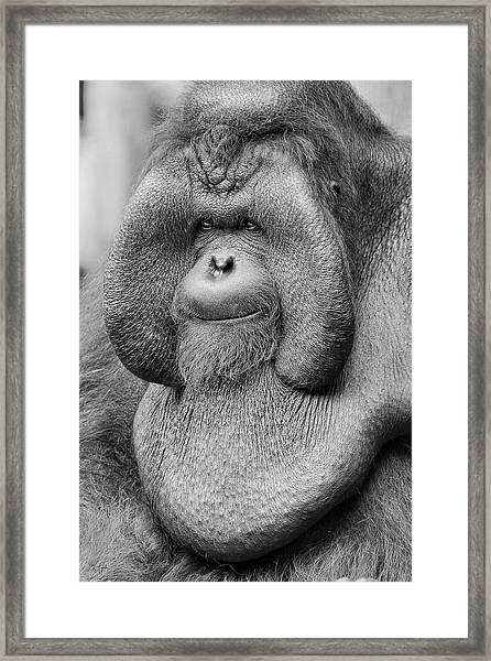 Bornean Orangutan IIi Framed Print