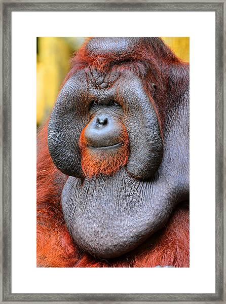 Bornean Orangutan Iv Framed Print