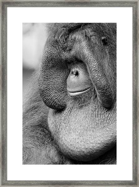 Bornean Orangutan V Framed Print
