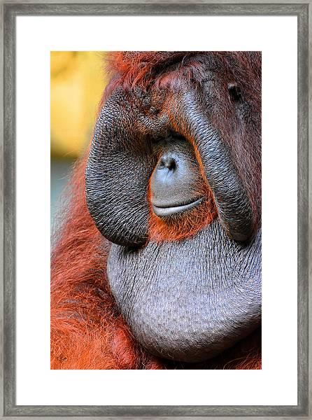 Bornean Orangutan Vi Framed Print