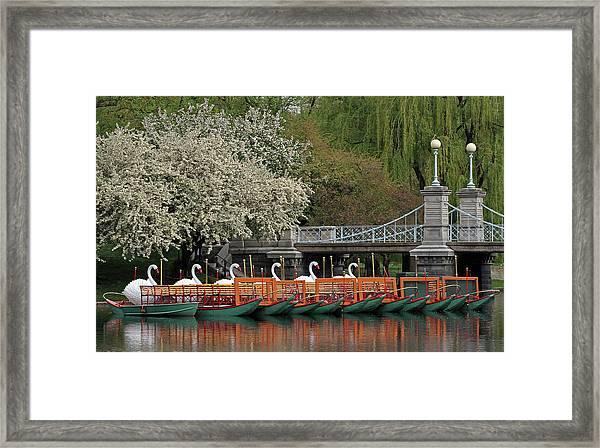 Boston Swan Boats  Framed Print