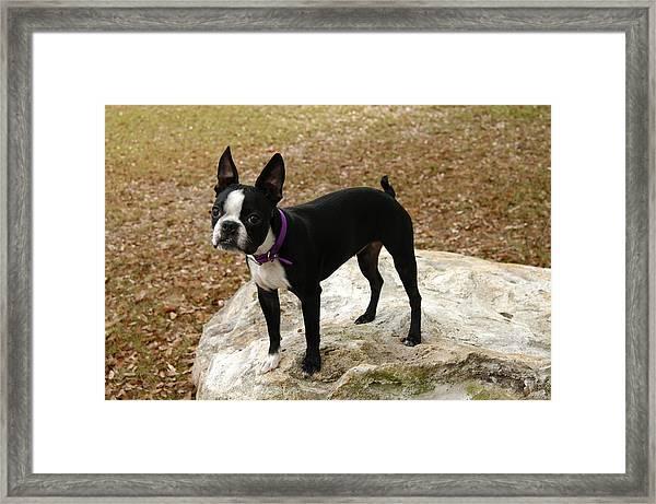 Boston Terrier On The Rock Framed Print