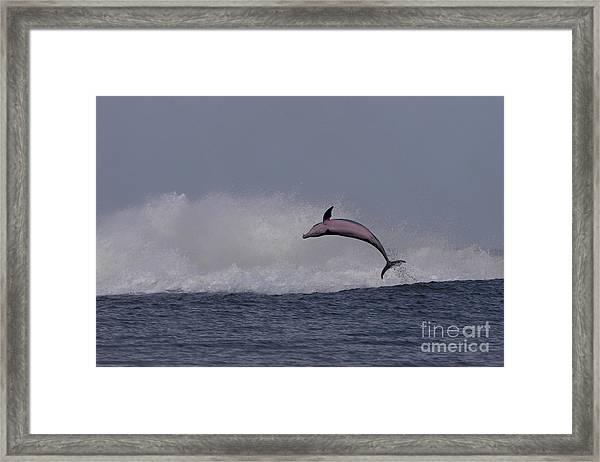 Bottlenose Dolphin Photo Framed Print