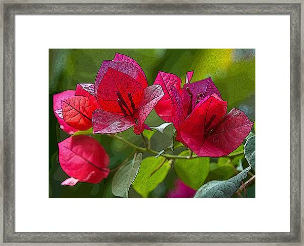 Bougainvillea At Casa Candiles Ixtapa Mexico Framed Print