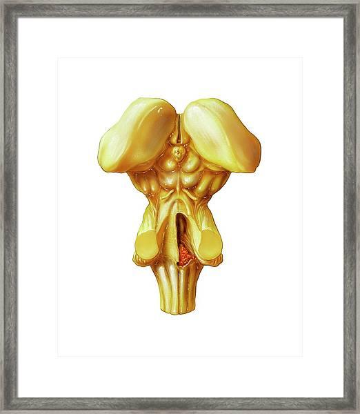 Brainstem Framed Print