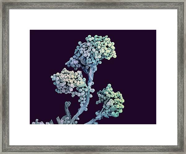 Bread Mould Conidiophore Framed Print