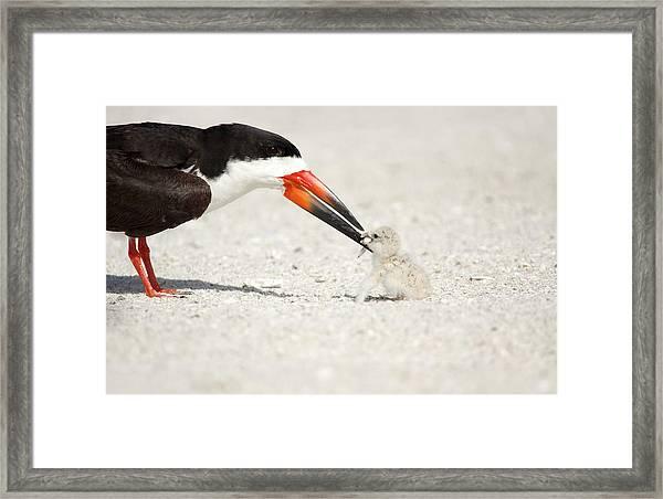 Black Skimmer And Chick. Framed Print