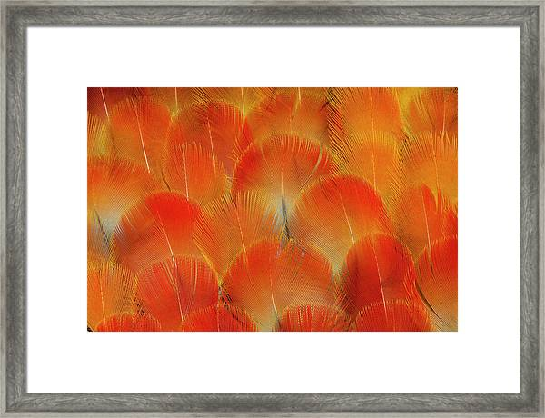 Breast Feathers Of The Camelot Macaw Framed Print