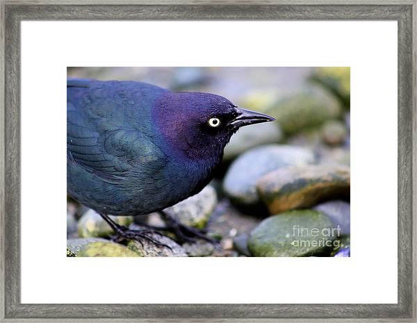 Brewers Blackbird Framed Print