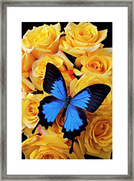 Bright Blue Butterfly On Yellow Roses Framed Print