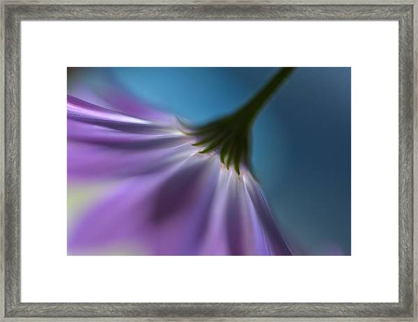 Bright Marguerites Framed Print by Heidi Westum