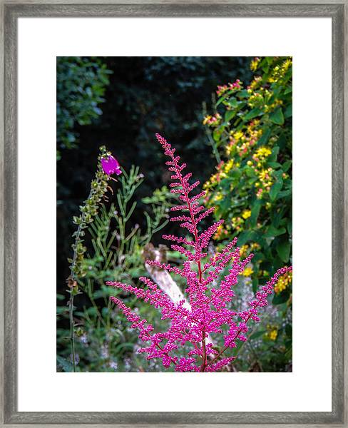 Brilliant Astilbe In Markree Castle Gardens Framed Print
