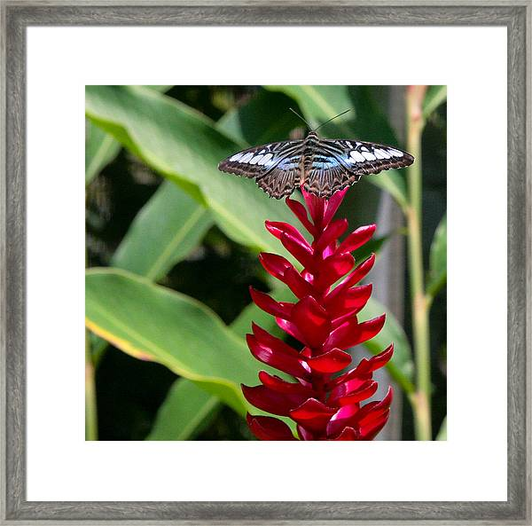 Brilliant Butterfly Framed Print