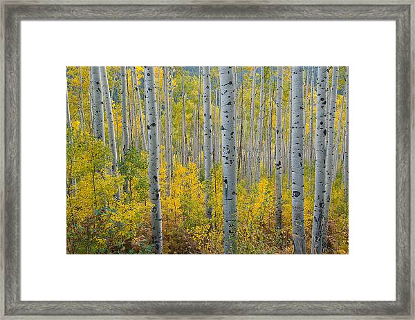 Brilliant Colors Of The Autumn Aspen Forest Framed Print