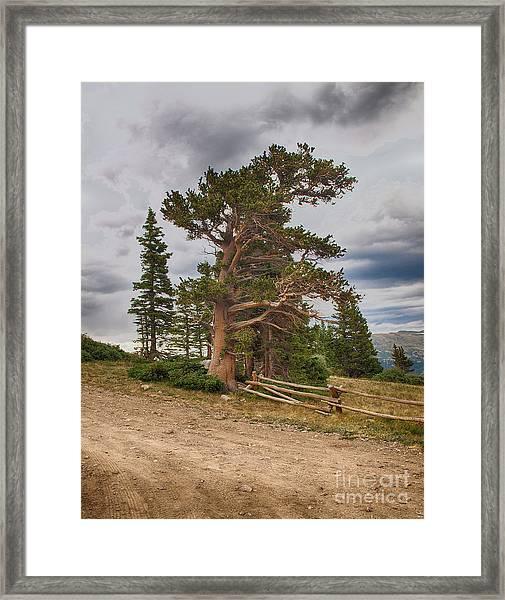 Bristlecone Pines Framed Print