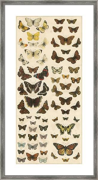 British Butterflies Framed Print