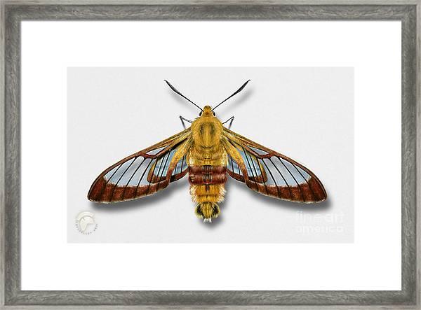 Broad-bordered Bee Hawk Moth Butterfly - Hemaris Fuciformis Naturalistic Painting -nettersheim Eifel Framed Print