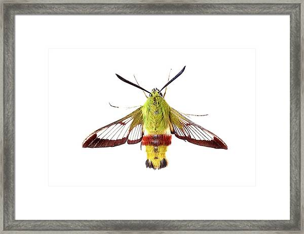 Broad-bordered Bee Hawkmoth Framed Print