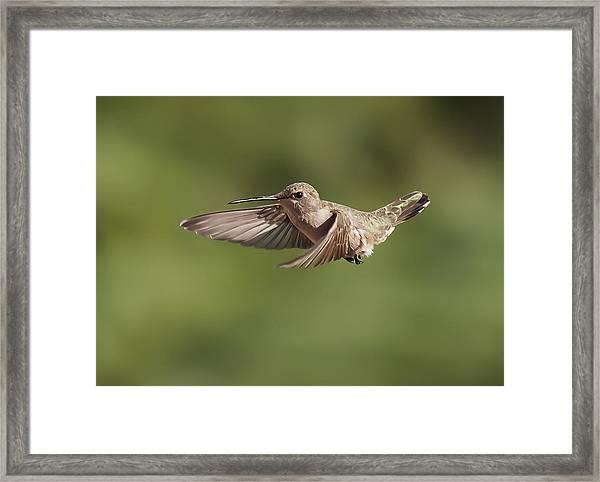 Broad-tailed Hummingbird 3 Framed Print