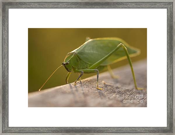 Broad-winged Katydid Framed Print