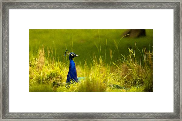 Bronx Zoo Peacock Framed Print
