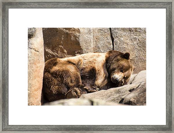 Brown Bear Asleep Again Framed Print