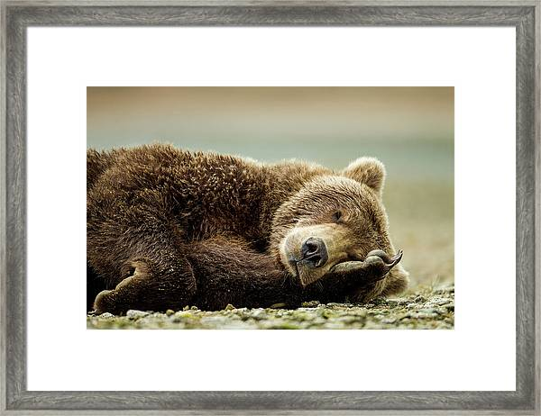 Brown Bear, Katmai National Park, Alaska Framed Print by Paul Souders