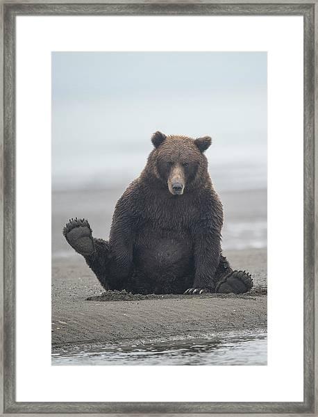 Brown Bear, Ursus Arctos, Sitting Framed Print