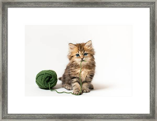 Brown Blue-eyed Kitten With Green Wool In Mouth Framed Print by Benjamin Torode