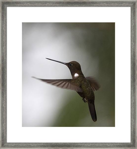 Brown Inca Hummingbird Framed Print