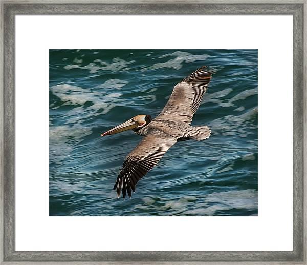 Brown Pelican Flying 1 Framed Print