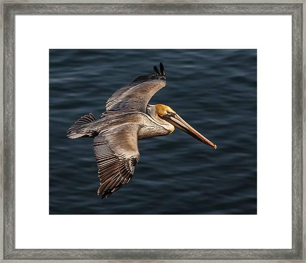 Brown Pelican Flying Framed Print