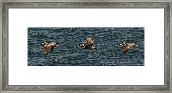 Brown Pelican Flying Panorama Framed Print