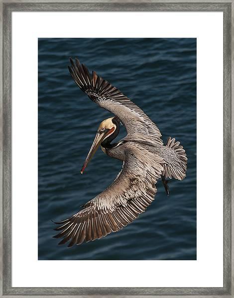 Brown Pelican Landing 2 Framed Print