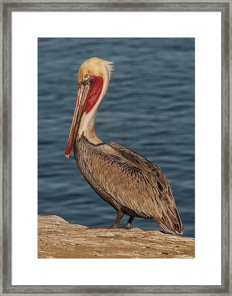 Brown Pelican Portrait 2 Framed Print