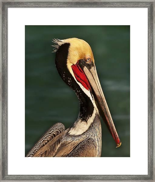 Brown Pelican Portrait Framed Print