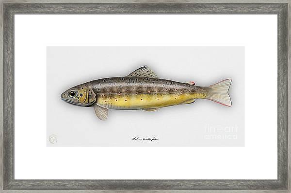 Brown Trout - Salmo Trutta Morpha Fario - Salmo Trutta Fario - Game Fish - Flyfishing Framed Print
