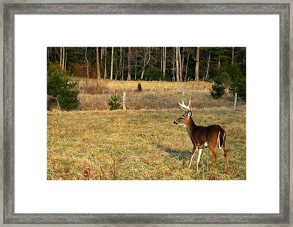 Buck In Cades Cove Framed Print by John Saunders