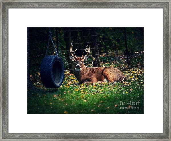 Buck In The Back Yard Framed Print