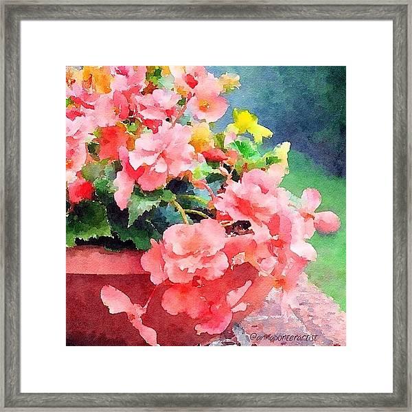 Bucket O Begonias Framed Print