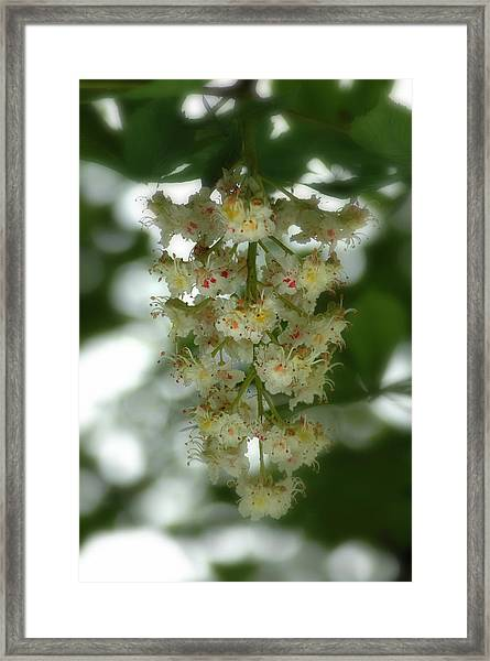 Framed Print featuring the photograph Buckeye Tree Bloom by David Armstrong