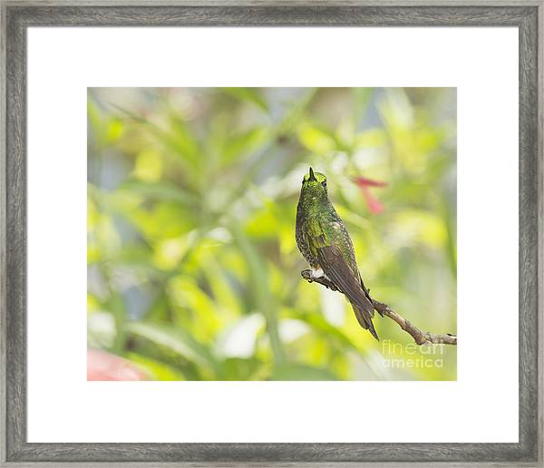 Buff-tailed Coronet Hummingbird Framed Print