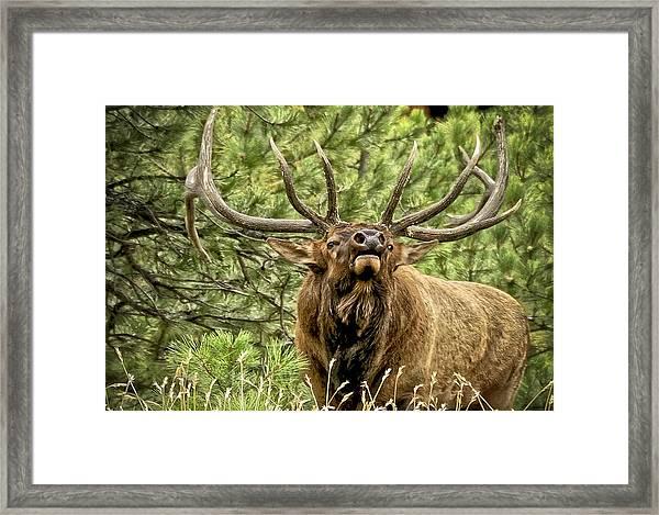 Bugling Bull Elk II Framed Print