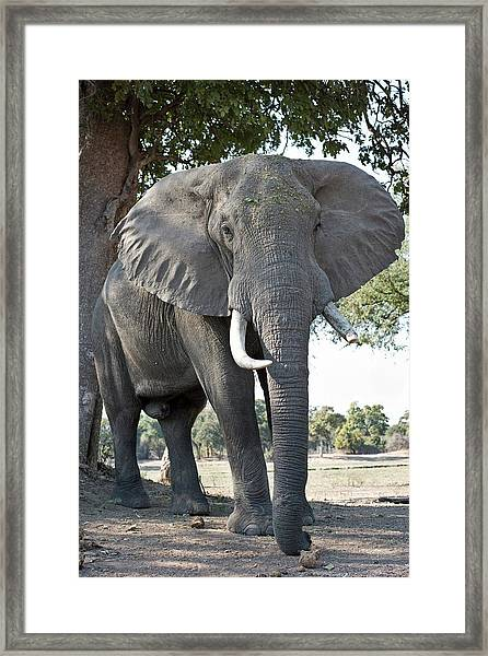 Bull African Elephant Framed Print by Tony Camacho